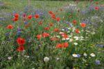 Ängsblommor - Blomsteräng